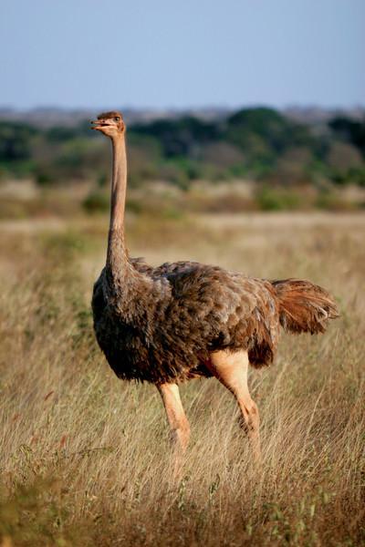 Ostrich<br /> Tsavo West National Park, Kenya