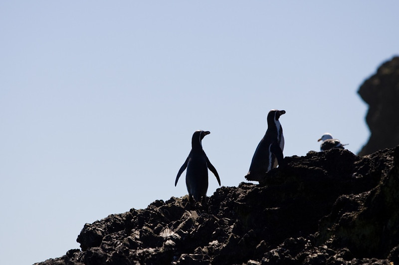 Magallanic Penguins<br /> Chileo, Chile