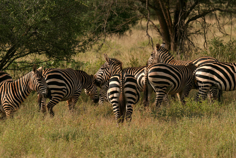 Burchell's Zebras<br /> Tsavo West National Park, Kenya