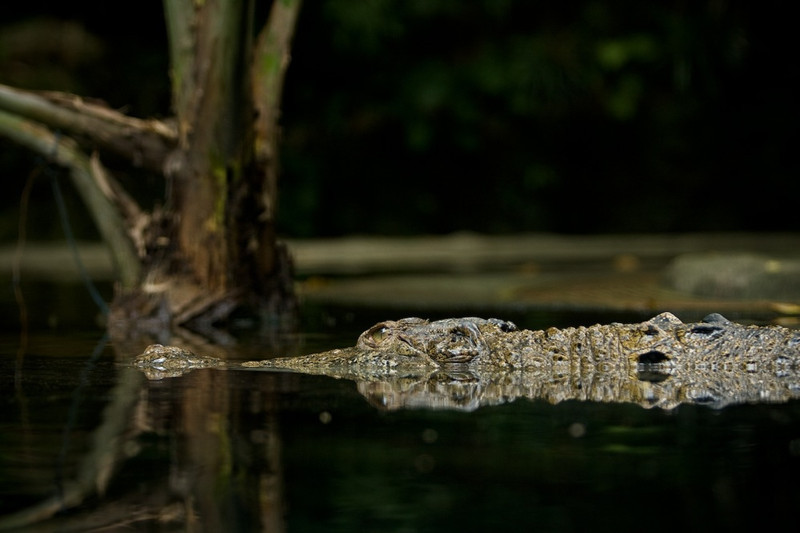 Crocodile<br /> Singapore Zoo