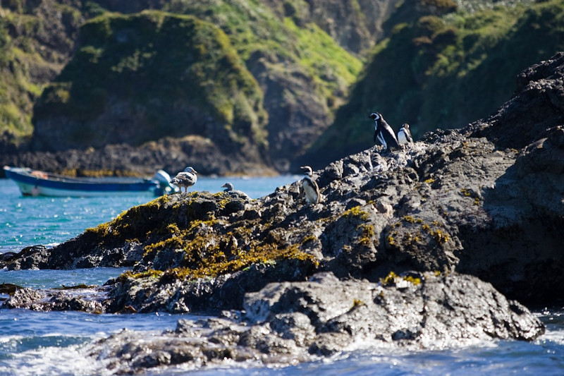 Magallanic Penguins<br /> Chiloe, Chile