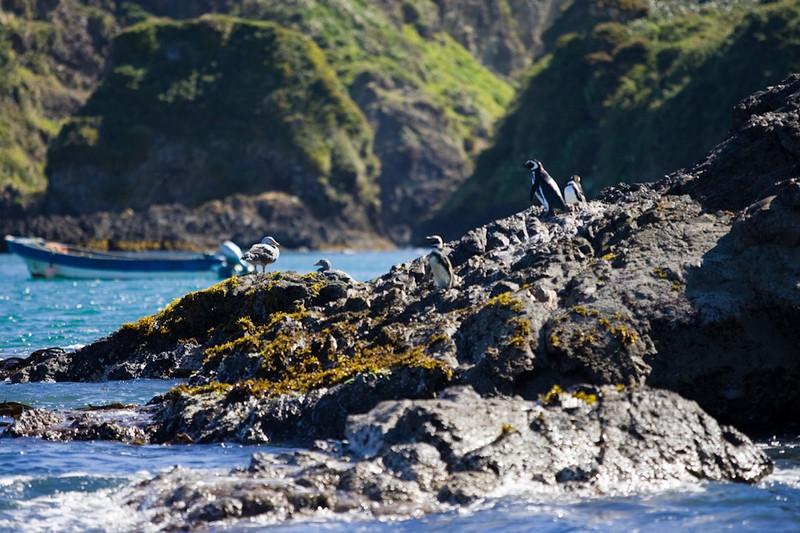 Magallanic Penguins<br /> Chiloe, Chile