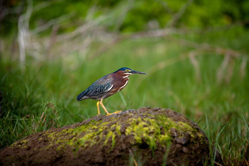 The Green Heron<br /> Lake Nicaragua, Nicaragua