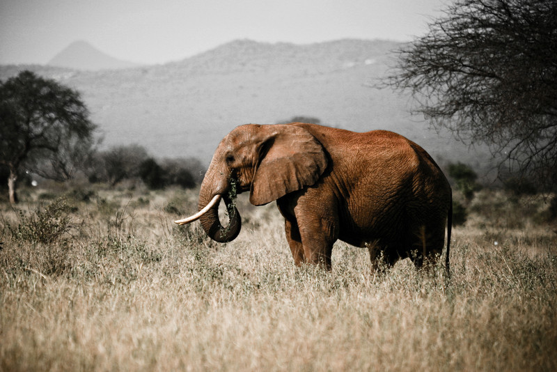 Red Elephant<br /> Tsavo West National Park, Kenya