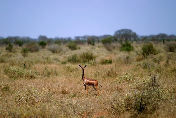 The Gerenuk, also known as The Waller's Gazelle