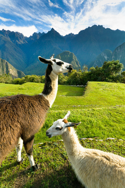 Machu Picchu was thought to be home to thousands of llamas during the Inca times.