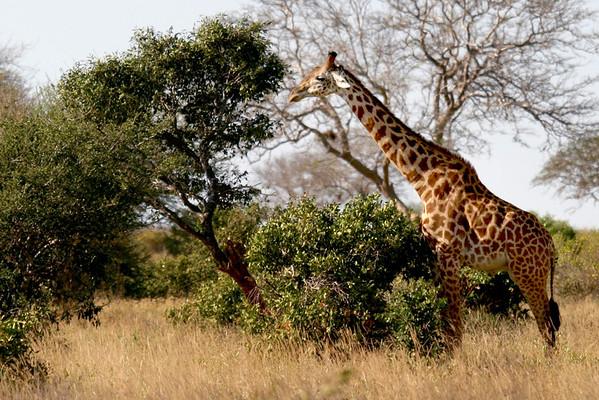 Masai Giraffe Tsavo West National Park, Kenya