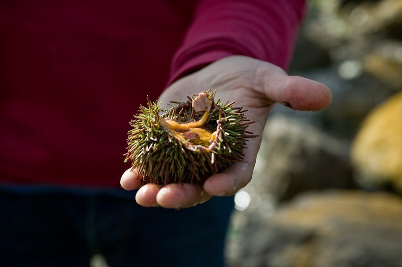 Sea Urchin<br /> Chiloe, Chile
