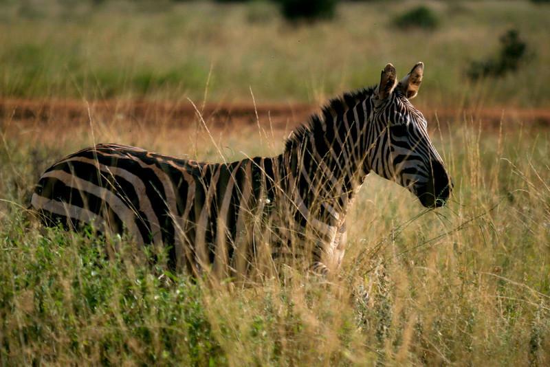 Burchell's Zebra<br /> Tsavo West National Park, Kenya