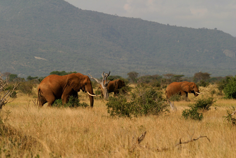 Red Elephants<br /> Tsavo West National Park, Kenya