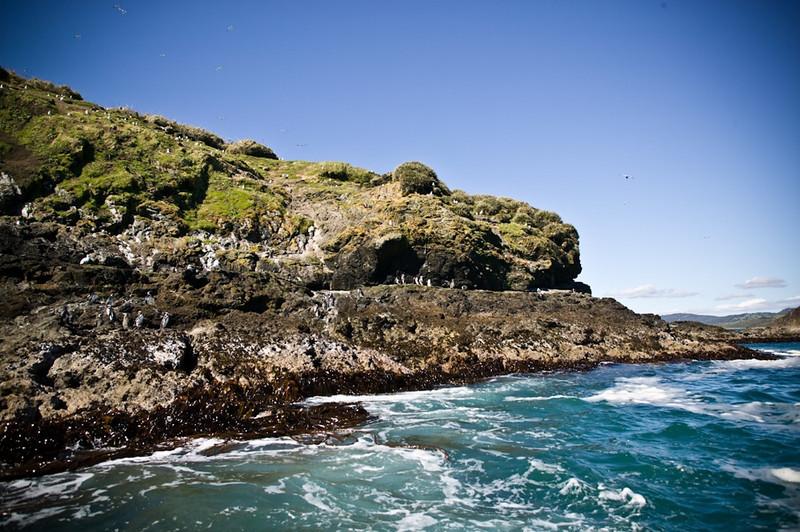 Magellanic Penguins<br /> Chiloe, Chile