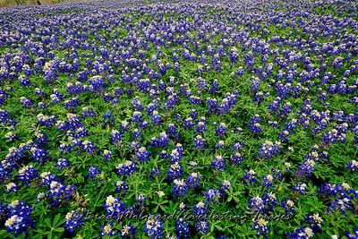 Blue Bonnets-Taylor, Texas