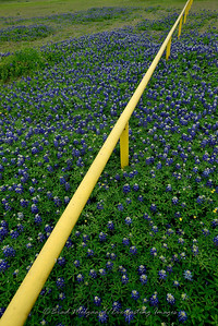 Blue Bonnets-Taylor, Texas