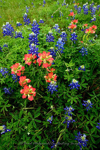 Indian Paint Brush & Blue Bonnet-Granger Lake, Texas