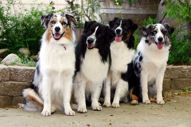 Full siblings (L to R) Windmill's Djinn Fizz M.A.D. OA,OAJ, RS-E, GS-E, JS-E-OP,SVCH WTCH CH Windmill's Need For Speed DNA-VP, ,JS-E, RS-E,JS-E,NA,NAJ ,  Windmill's Virginia Dare (ASCA major pointed) Windmill's Sweet Reflections  photo by Erika Maurer