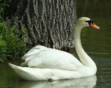 Mute Swan on pond in Finger Lakes Wine Country