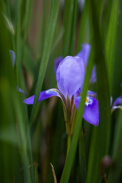 Winter Iris, soft