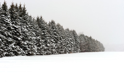 Trees in Snow Storm