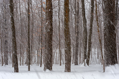 Forest In Snow Storm