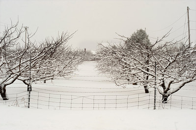 Snow Covered Orchard