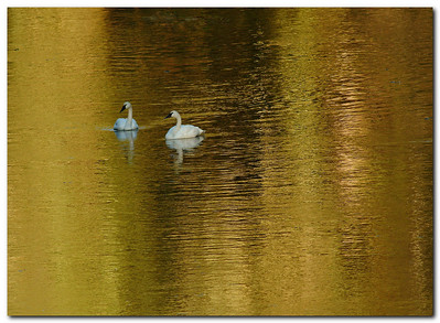 Winter Swans of Thorne River: a Coffee Table Book
