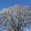A wide shot of this tree with the snow. I love the blue sky background.