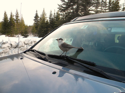 A very friendly Gray Jay at Big Brook Road.