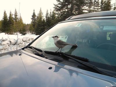 A very friendly Gray Jay at Big Brook Road.