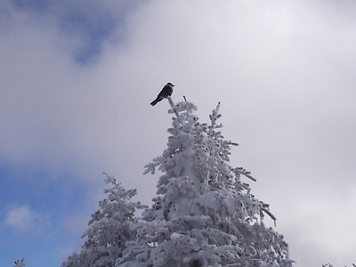 Gray Jay on top of Dixville Peak
