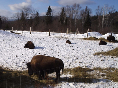 Buffalo herd in Errol.