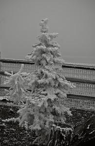 Tree w fence