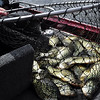 John Amrhien of Centuria, Wis., counts a limit of 25 crappies caught on Balsam Lake. Amrhien guided Gov. Scott Walker, who didn't catch a fish. (Pioneer Press: Dave Orrick)