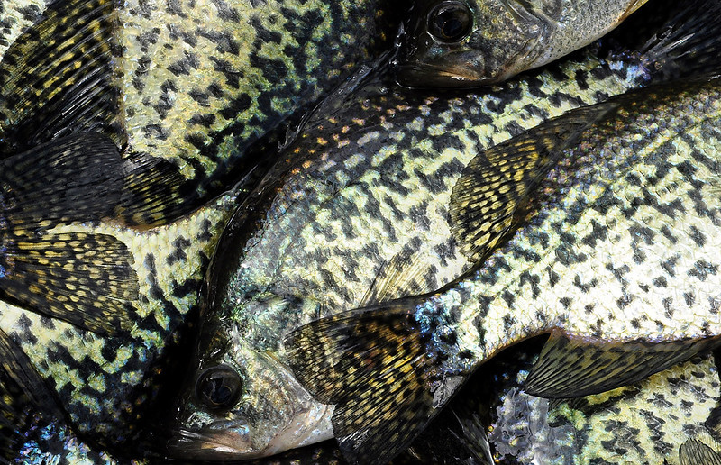 Hungry crappies substituted for uncooperative bass and walleye on Balsam Lake in Polk County, Wis., Saturday, May 3, 2014. The lake hosted Wisconsin Indian Head Country's Governor's Fishing Opener.<br /> (Pioneer Press: Dave Orrick)
