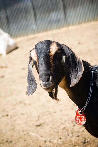 Another Amish-raised goat near Cashton, WI.