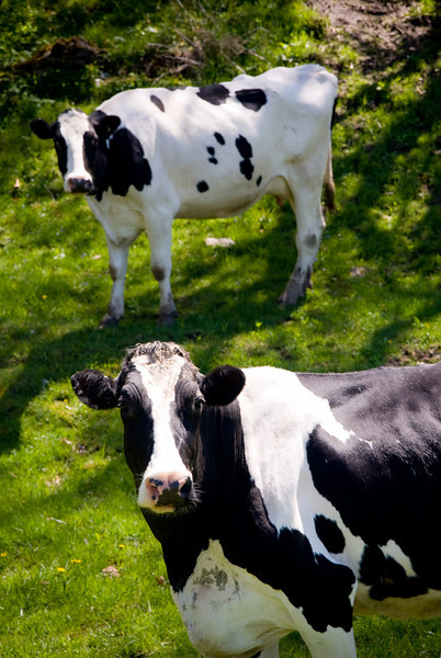 Cows graze on a wooded hill west of Green Bay.