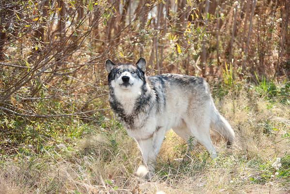 Wolf Park, Battle Ground, Indiana  www.WolfPark.org