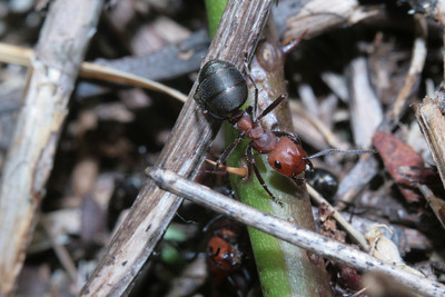 Wood ants in Washington State