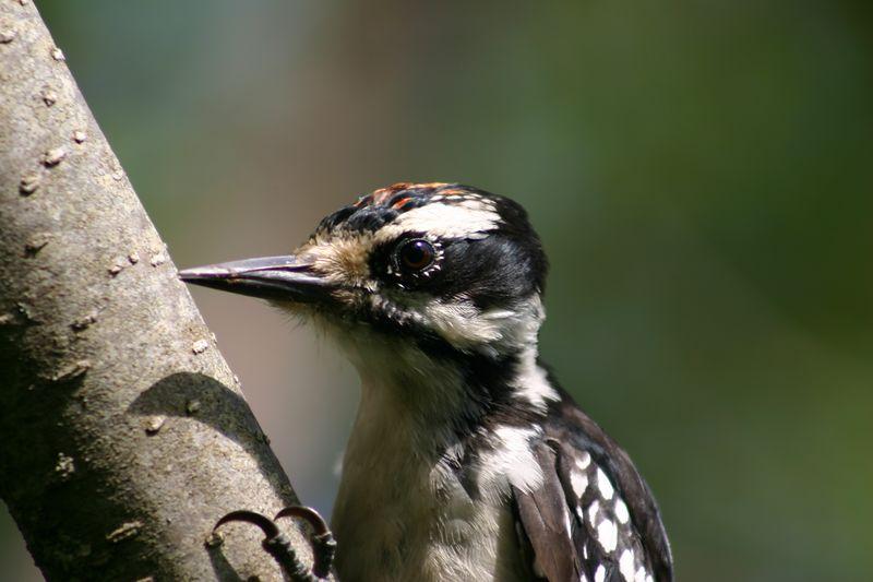 Hairy Woodpecker (Immature male)