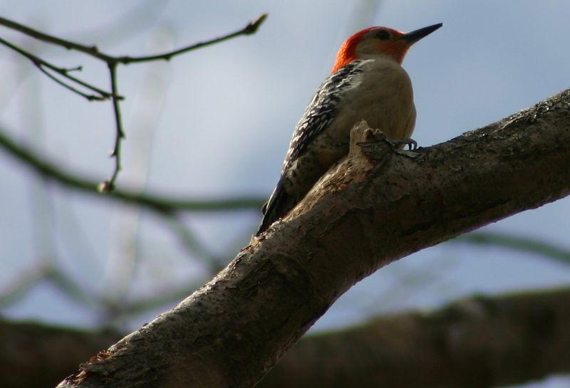 Red-bellied Woodpecker (M)