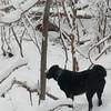 Kita - our wonderful Lab/Akita mix dog