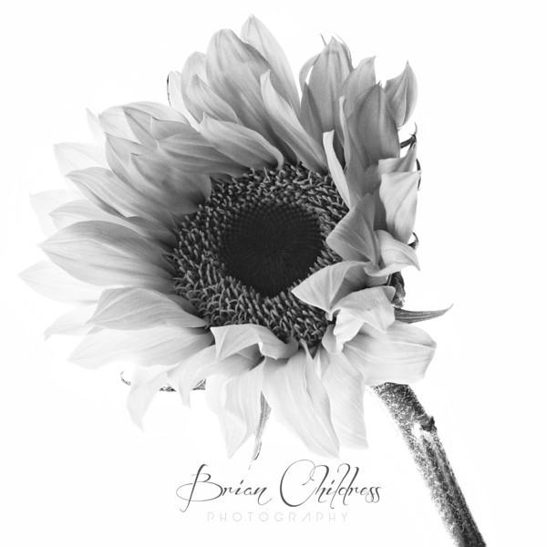Sunflower-001 bw si