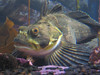 this big rockfish remonded me of sculpins