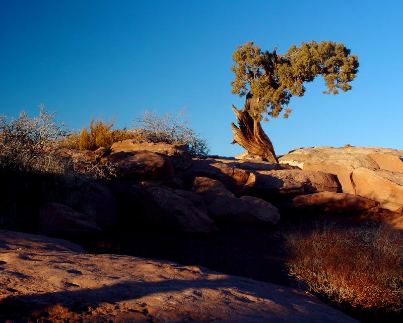 Pinion Pine, Canyonlands National Park<br /> <br /> Recommended sizes: 4 x 5, 8 x 10, 16 x 20