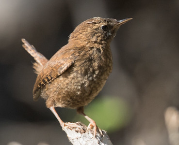 Pacific Wren  Twin Lakes Mammoth Lakes 2017 07 02-1.CR2