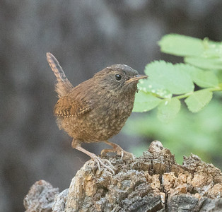Pacific Wren  Twin Lakes Mammoth Lakes 2017 07 02-5.CR2