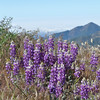 Late Spring Lupines in the San Gabriels