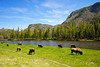 A small herd of Yellowstone National Park buffalo graze alongside a western river.