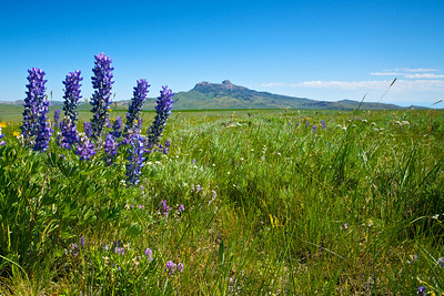 Cluster of Silver Lupine grows in a field in northern Wyoming.