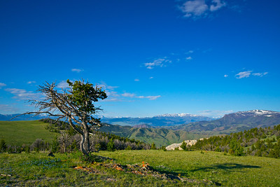 A withering pine tree clings to life along a ridge on a mountain meadow.