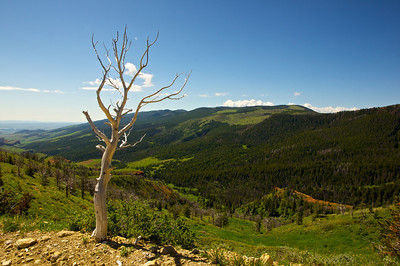 A white dead tree overlooks the green verdant mountains of northern Wyoming.